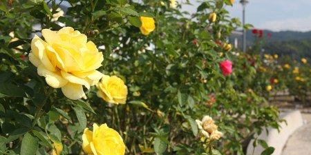 yoshiumi 薔薇公園